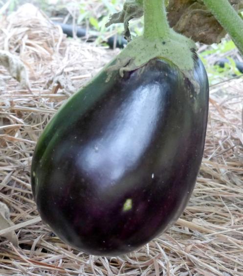 black-beauty-eggplant
